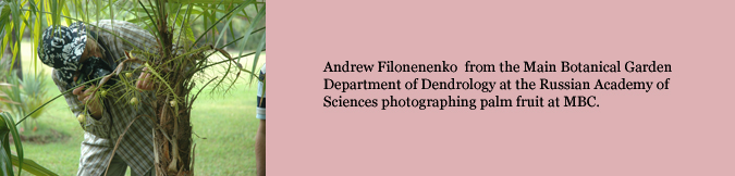 Andrew Filonenenko  from the Main Botanical Garden Department of Dendrology at the Russian Academy of Sciences photographing palm fruit at MBC.