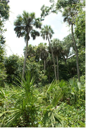 Sabal palmetto at Werner-Boyce Salt Spring State Park in Florida, USA