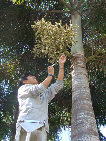 A photo of Carlos Martel taking a sampling of sugar from the flowering structure of a palm
