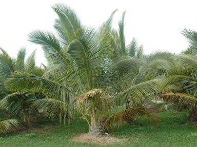 Fiji Dwarf Coconut