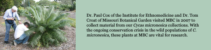 Dr. Paul Cox of the Institute for Ethnomedicine and Dr. Tom Croat of Missouri Botanical Garden visited MBC in 2007 to collect material from our Cycas micronesica collections. With the ongoing conservation crisis in the wild populations of C. micronesica, these plants at MBC are vital for research.