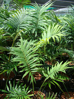 Cycas micronesica at Montgomery Botanical Center.
