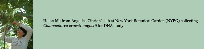 Helen Ma from Angelica Cibrian's lab at New York Botanical Garden (NYBG) collecting Chamaedorea ernesti-augustii for DNA study.