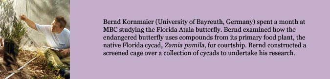 Bernd Kornmaier (University of Bayreuth, Germany) spent a month at MBC studying the Florida Atala butterfly. Bernd examined how the endangered butterfly uses compounds from its primary food plant, the native Florida cycad, Zamia pumila, for courtship. Bernd constructed a screened cage over a collection of cycads to undertake his research.