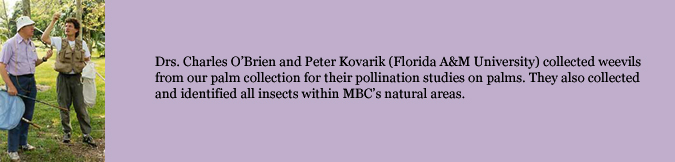 Drs. Charles O'Brien and Peter Kovarik (Florida A&M University) collected weevils from our palm collection for their pollination studies on palms. They also collected and identified all insects within MBC's natural areas.