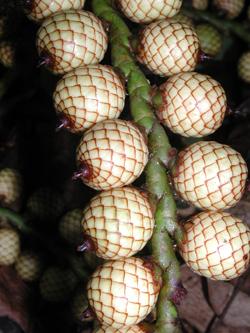 Calamus fruit