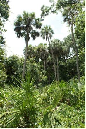 Sabal palmetto at Werner-Boyce Salt Spring State Park in Florida, USA