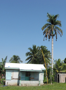 Palm with nests, Belize