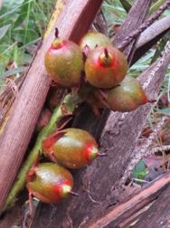 Photo of the fruit of Syagrus menzeliana