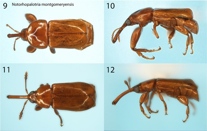 New Weevil Species Honor Montgomery and its Team